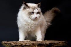 Ragdoll piękna biały prawdziwy kot zdjęcia stock