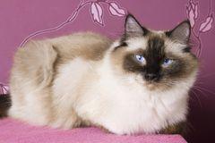 Ragdoll on pink Stock Images