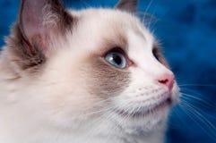 Ragdoll portrait on blue Stock Image