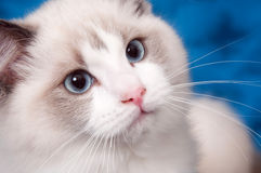 Ragdoll portrait on blue Royalty Free Stock Images