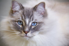 A ragdoll portrait with a blue eyes Stock Photos