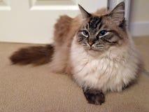 RAGDOLL PORTRAIT. Fluffy longhaired pedigree Ragdoll Tabby Seal Lynx cat Royalty Free Stock Image