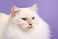 Ragdoll on purple background Royalty Free Stock Image
