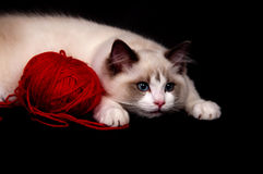 Ragdoll and red ball of yarn Stock Photography