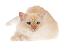 Ragdoll red point cat isolated. On white Stock Image