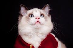 Ragdoll in santa costume Royalty Free Stock Image