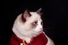 Ragdoll in santa costume Royalty Free Stock Photography