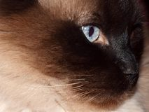 Face of Ragdoll cat Royalty Free Stock Photography