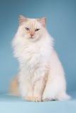 Ragdoll sitting on a blue background Royalty Free Stock Photos