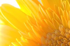 Ragdoll Sunflower background. Yellow ragdoll sunflower closeup for a background with edgy lighting Stock Photography