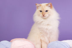 Ragdoll with wool. And purple background Stock Photo