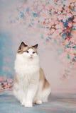 Ragdollkat bij romantische achtergrond Royalty-vrije Stock Afbeeldingen