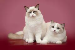 Ragdolll cat on pink background