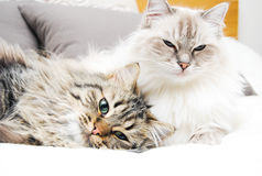 Ragdolls Stock Photography