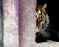 Rage. An angry adult femal Siberian tiger (Panthera tigris altaica) looking out from behind a wall Stock Photography