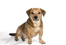 Rage dog Royalty Free Stock Image