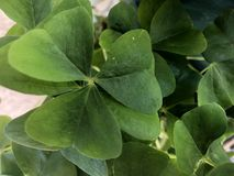 Green clovers. Rage green clovers that bring luck to all Royalty Free Stock Photography