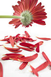 Ragged gerbera Royalty Free Stock Photo