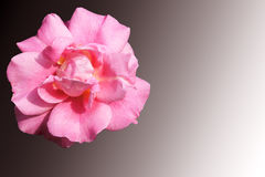 Ragged pink rose on graded grey Royalty Free Stock Photography