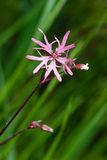 Ragged robin Stock Photos