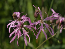 Ragged Robin Stock Images
