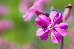 Ragged robin. Ragged robin in bloom in Voorschoten, Netherlands stock image