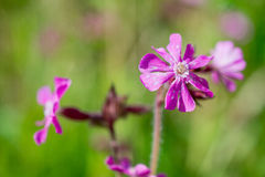 Ragged robin. Royalty Free Stock Photo