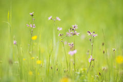 Ragged-Robin flowers, Lychnis flos-cuculi Royalty Free Stock Photography