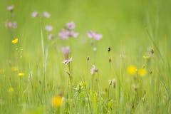 Ragged-Robin flowers, Lychnis flos-cuculi Royalty Free Stock Photos