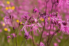 Ragged-Robin Royalty Free Stock Photography