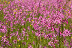 Ragged-Robin Stock Images