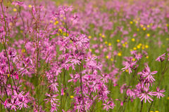 Ragged-Robin Stock Photos