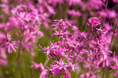 Ragged-Robin Royalty Free Stock Images