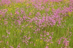 Ragged-Robin Stock Photography