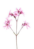 Ragged robin (Lychnis flos-cuculi) Royalty Free Stock Photography
