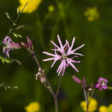 Ragged-Robin, Lychnis flos-cuculi, flower detailed macro on bokeh background, selective focus, shallow DOF Royalty Free Stock Photos