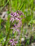 Ragged-Robin, Lychnis flos-cuculi, flowers detailed macro on bokeh background, selective focus, shallow DOF Royalty Free Stock Images