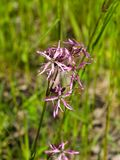 Ragged-Robin, Lychnis flos-cuculi, flowers detailed macro on bokeh background, selective focus, shallow DOF Stock Photo