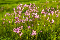 Ragged Robin Lychnis flos-cuculi flowers Royalty Free Stock Photography