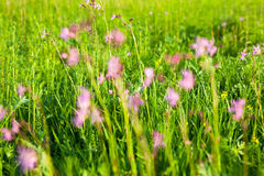 Ragged Robin Lychnis flos-cuculi flowers Stock Photos