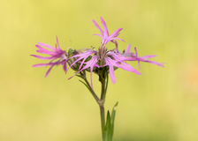 Ragged Robin Lychnis flos-cuculi plant in flower Royalty Free Stock Image