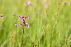 Ragged-Robin Lychnis flos-cuculi on a spring meadow. On a sunny day Stock Image