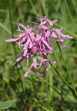 Ragged Robin. Lychnis flos-cuculi Stock Images