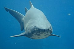 Ragged Tooth Shark. Taken in Durban South Africa stock images