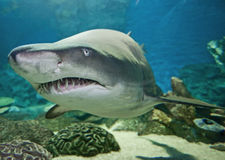 Ragged tooth shark in an aquarium. View of a large ragged tooth shark swimming in an aquarium from an underwater tunnel stock photography