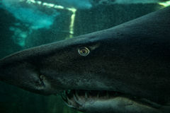Ragged Tooth Shark. Close up of ragged tooth shark with clear eye visible royalty free stock photos