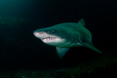 Free Ragged Tooth Shark In Aliwal Shoal, South Africa Stock Photo - 17747180