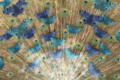 Raggi del pavone della farfalla Fotografia Stock Libera da Diritti