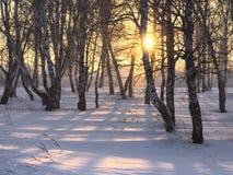 Raggi del sole attraverso gli alberi di betulla nell'inverno immagini stock