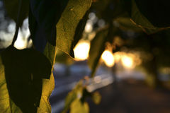 Raggi del sole di mattina tramite le foglie degli alberi Fotografie Stock Libere da Diritti